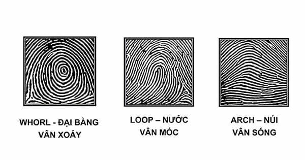 3 chủng vân tay chính Whorl Loop Arch